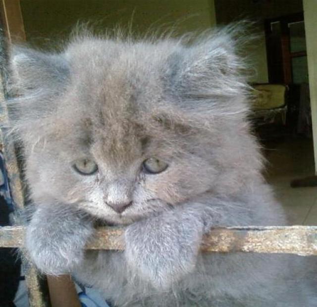 fluffy grey kitten-#main