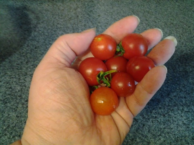 First Tomatoes, 2013 (B)